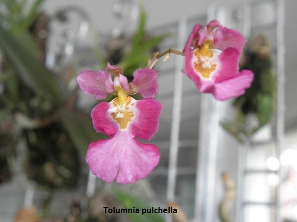 Miniatur- Orchideen - Seite 5 Tolumn10