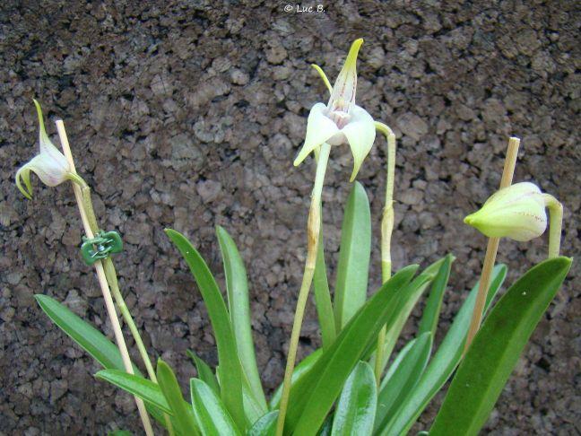 Byrsella coriacea ( ex. Masdevallia coriacea ) Masdev13