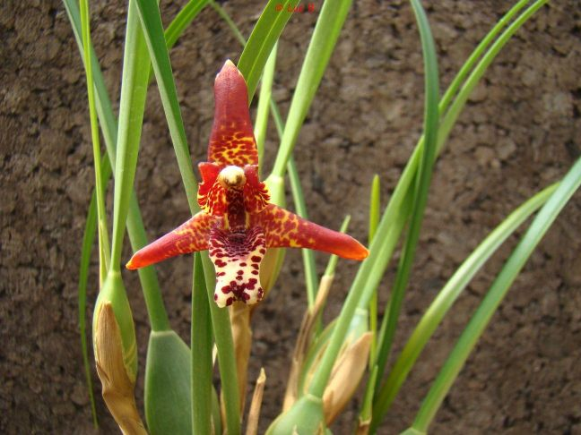 Maxillaria tenuifolia  Maxill12