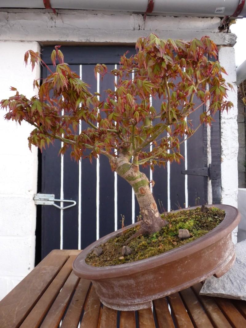 Conseils pour mon premier pré-bonsaï P1070921