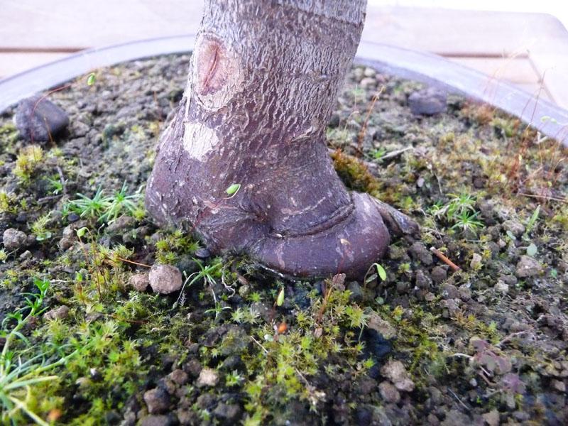 Conseils pour mon premier pré-bonsaï P1070924