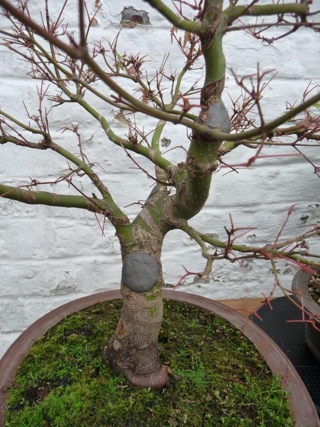 Conseils pour mon premier pré-bonsaï P1080010