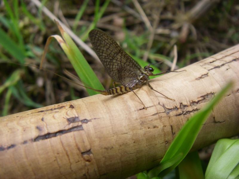 Photos d'insectes  - Page 2 Mouche10