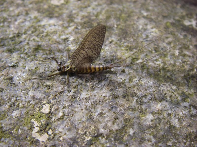 Photos d'insectes  - Page 2 Mouche11