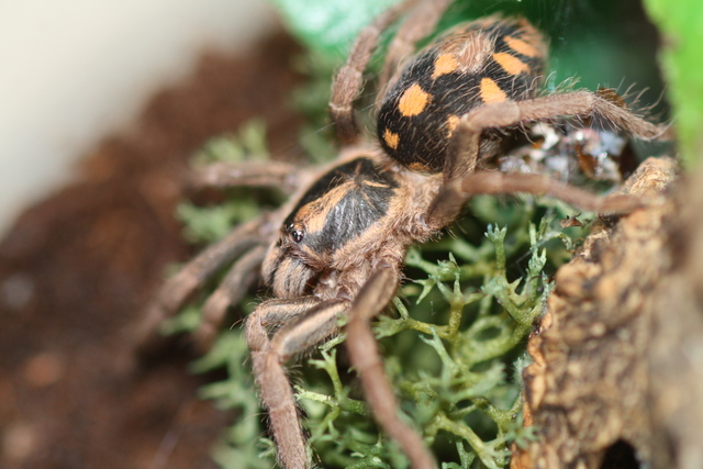 Hapalopus sp. Colombia (Petite) Img65610