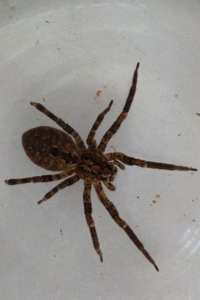 Identification araignée Photo-10