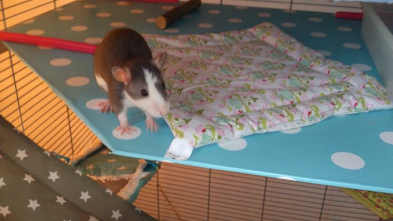 Encore des rats malheureux... Volier13