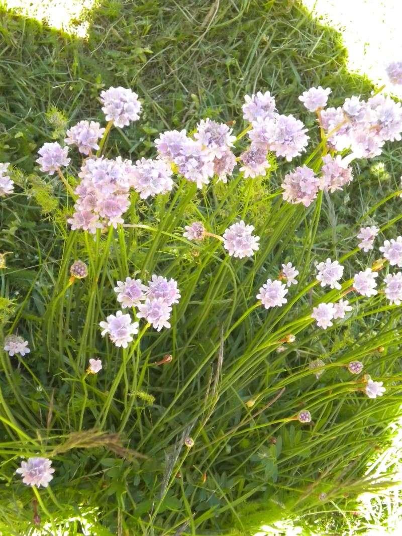 Armeria (résolu) Fleurs10
