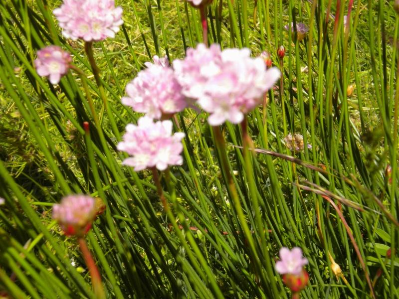 Armeria (résolu) Fleurs11