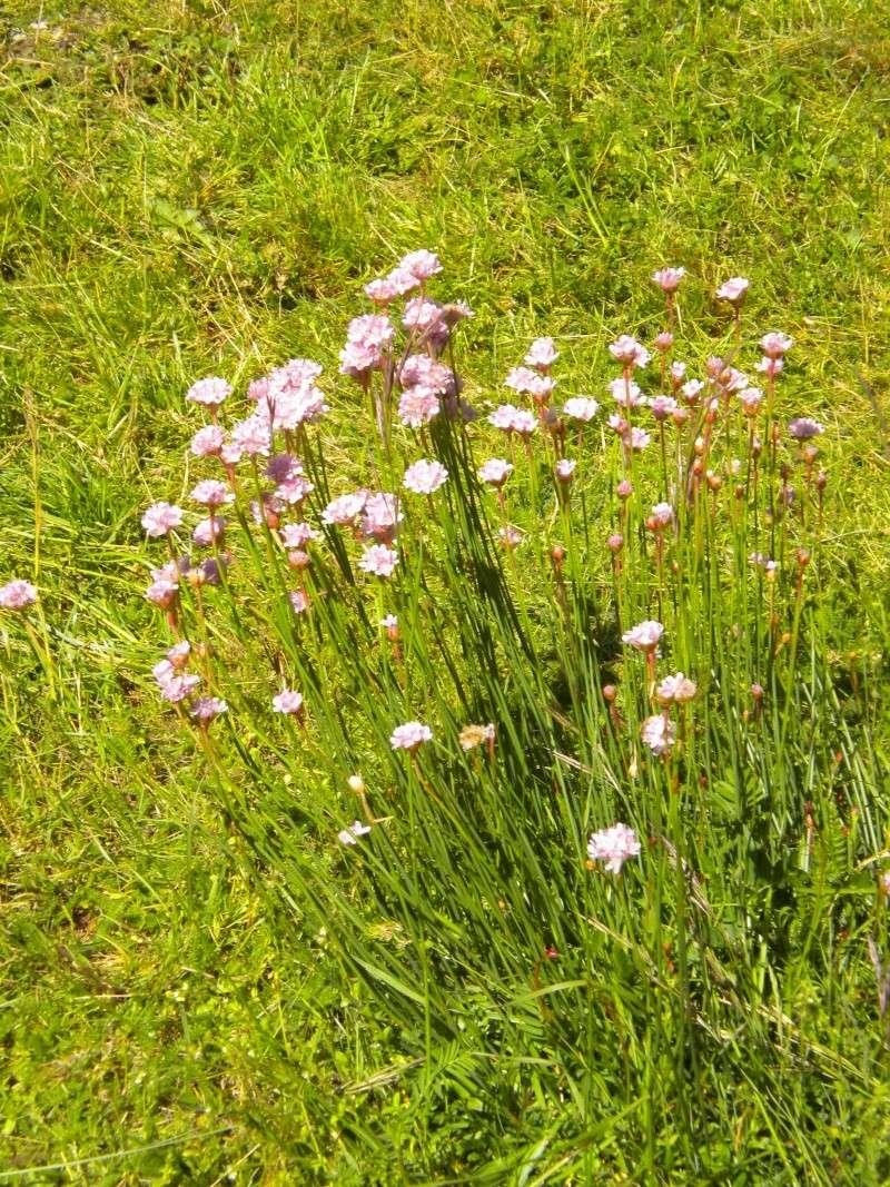 Armeria (résolu) Fleurs12