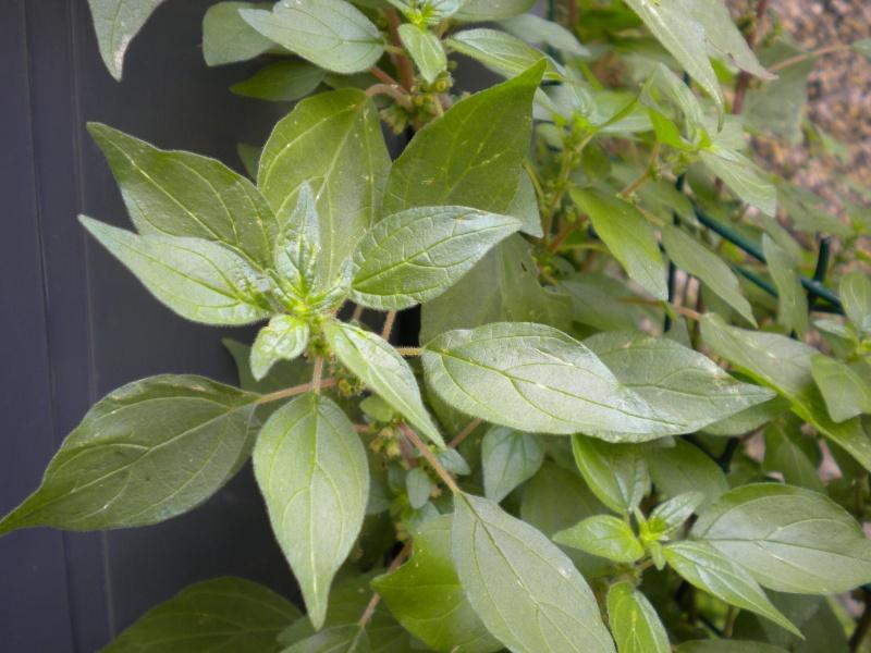 pariétaire ? (réponse positive) Plante12