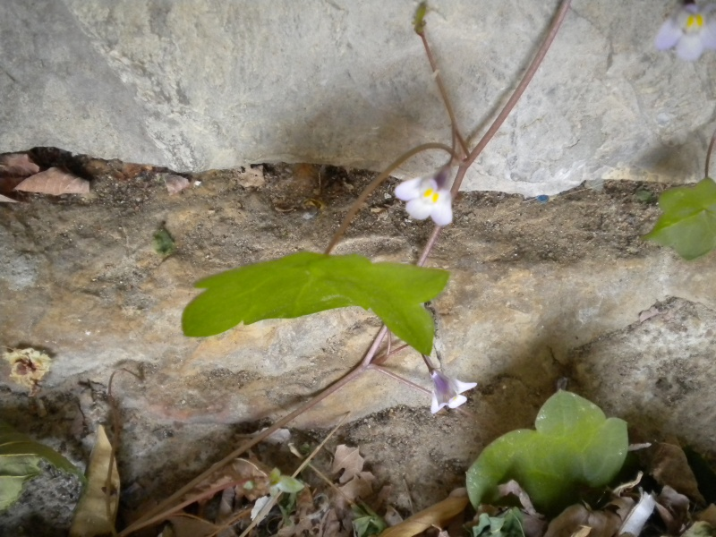 cymbalaire des murs / cymbalaria muralis Plante16