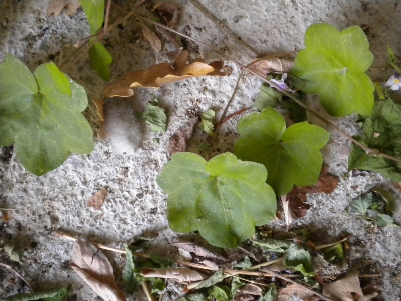 cymbalaire des murs / cymbalaria muralis Plante17