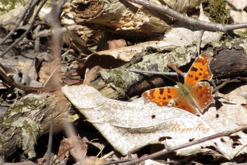 Papillons, le 22-04-2013, Boisé des Douze, St-Hyac 20130410