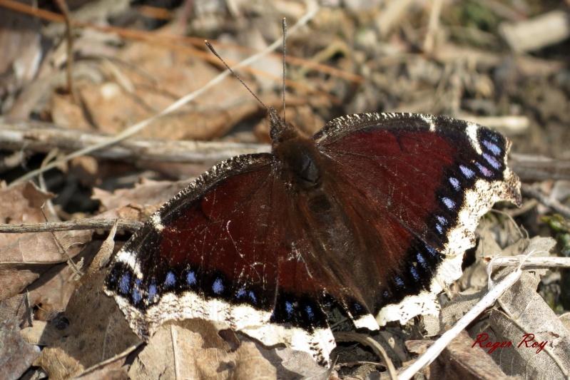 Papillons, le 22-04-2013, Boisé des Douze, St-Hyac 20130411