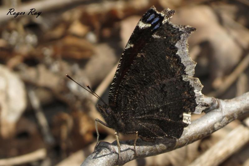 Papillons, le 22-04-2013, Boisé des Douze, St-Hyac 20130412