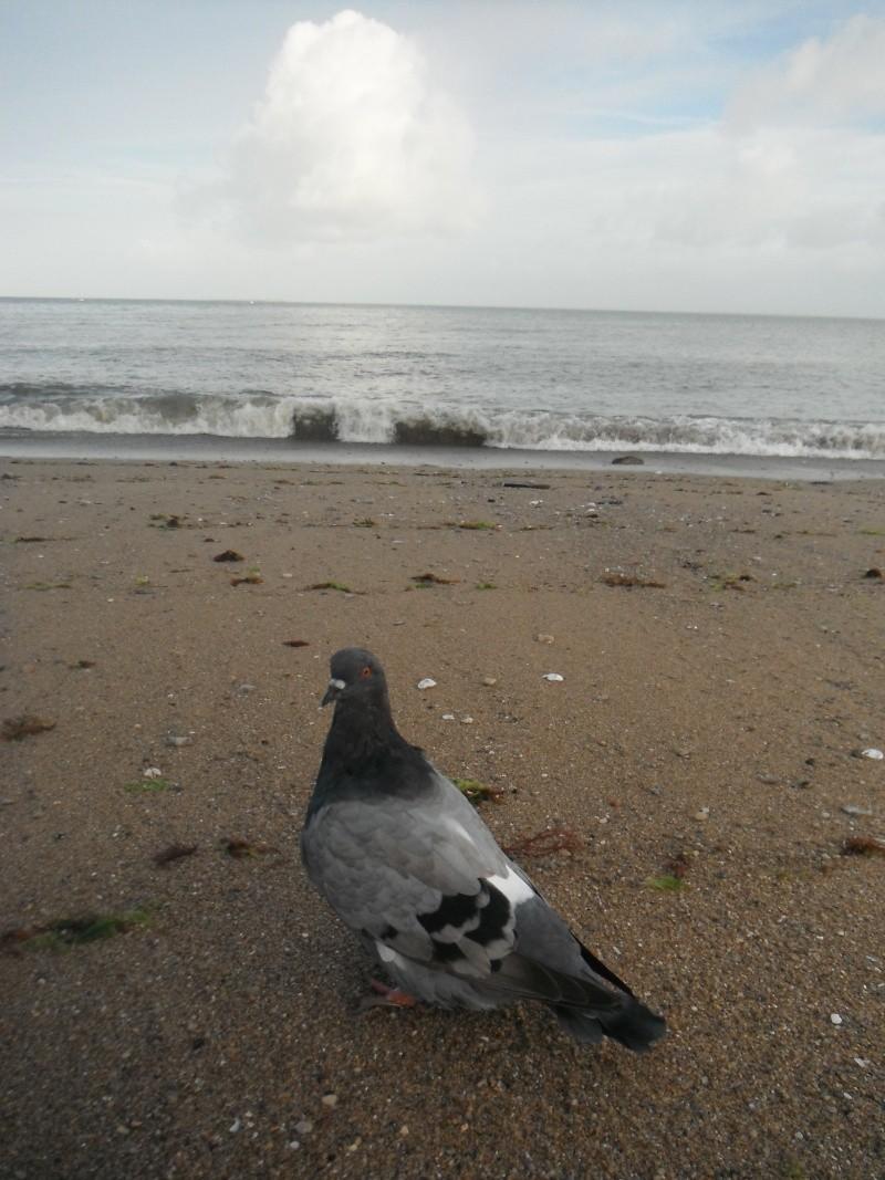 mon pigeon Mondain  Album_13
