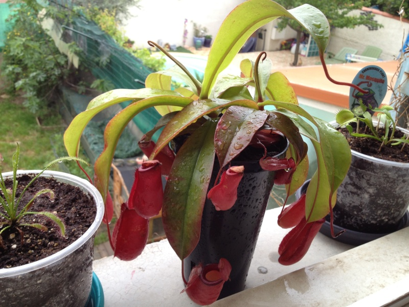 Demande d'informations sur Nepenthes Photo10