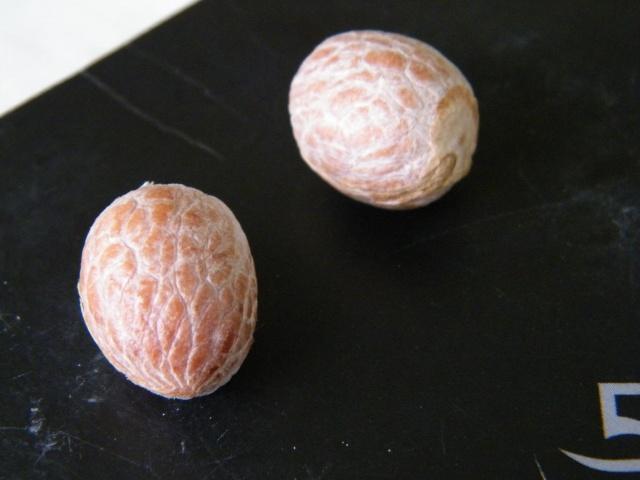 photos de fruits et graines de palmiers - Arecaceae Dscf5112