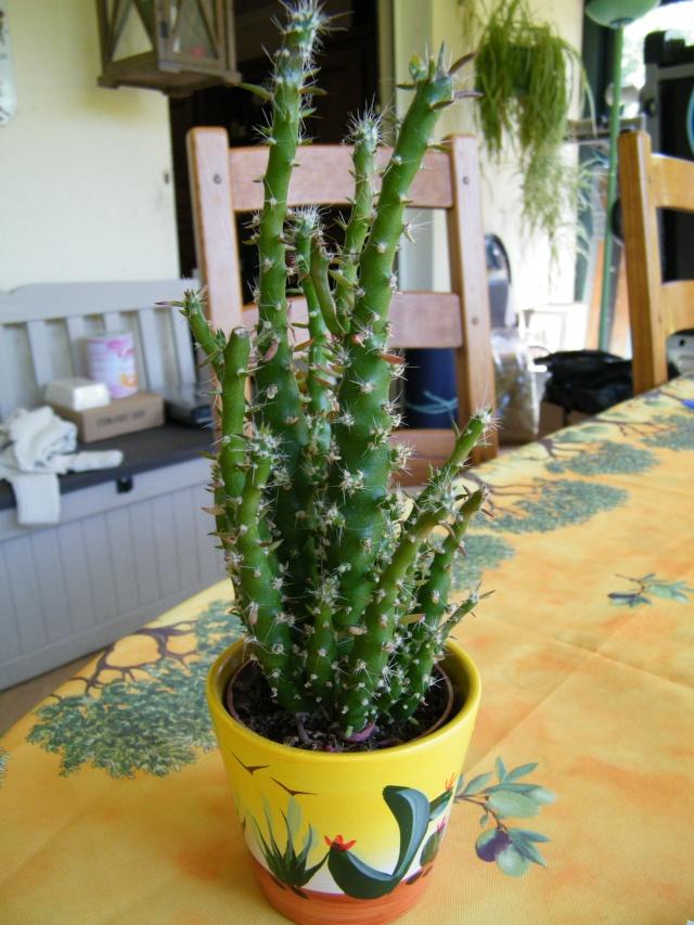 Notocactus sp., Cleistocactus strausii ?, Cylindropuntia subulata cristata [id. non terminée] Dscf5230