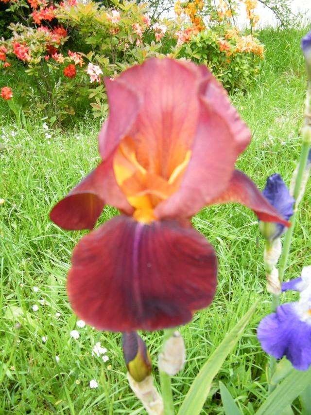 Floraisons de nos Iris barbus 2013 - Page 7 Dscf5233