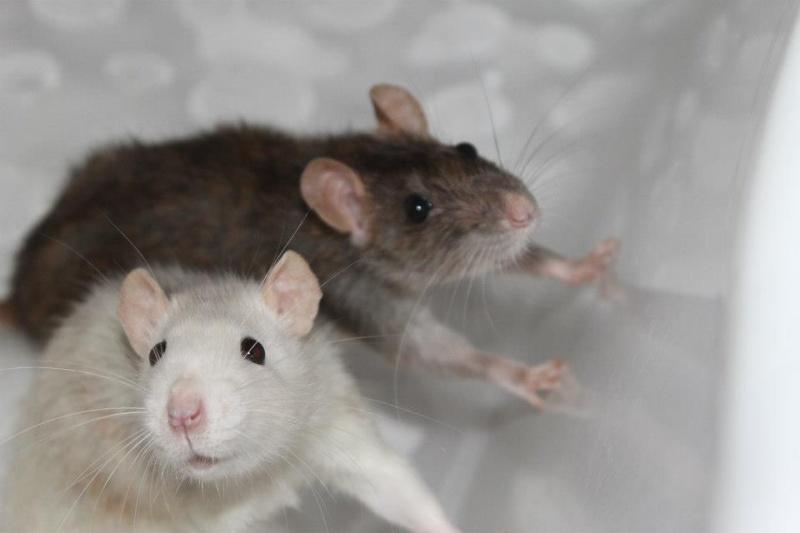 Des Rats Gibus Ratoun11