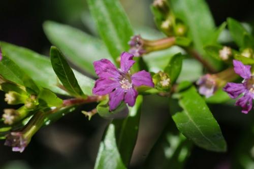 Cuphea hyssopifolia - cuphea à feuilles d'Hysope Inconn13