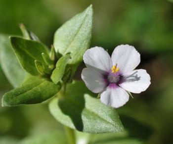 Lysimachia arvensis (= Anagallis arvensis) - mouron des champs Lysima10