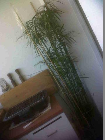 cyperus alternifolius V_7c8410