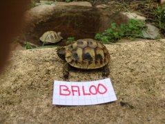 Voici le reste de la famille pour identification Baloo_10