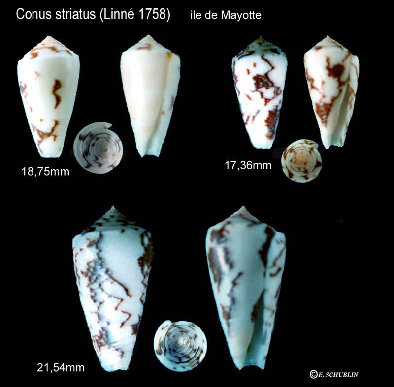 Conus (Pionoconus) striatus   (Linnaeus, 1758)  - Page 4 Striat13