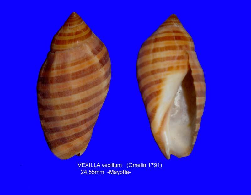 Vexilla vexillum - (Gmelin, 1791) Vexill11