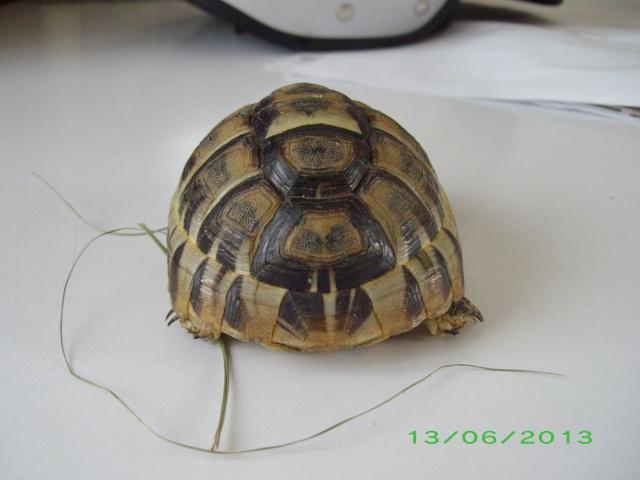 Petite tortue d'Hermann varoise avec une carapace blanche Imgp3111