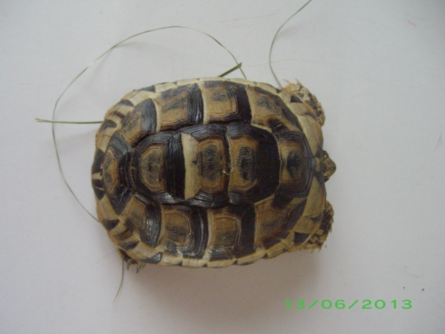 Petite tortue d'Hermann varoise avec une carapace blanche Imgp3113