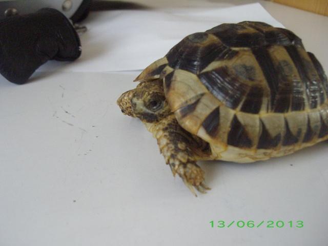 Petite tortue d'Hermann varoise avec une carapace blanche Imgp3114