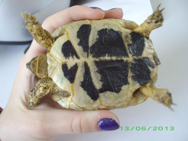 Petite tortue d'Hermann varoise avec une carapace blanche Imgp3115