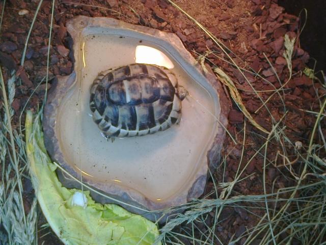 Petite tortue d'Hermann varoise avec une carapace blanche Photo110