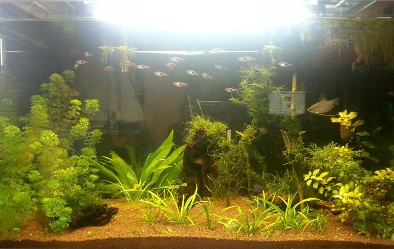 Mon aquarium de 260L Asiatique 20130611