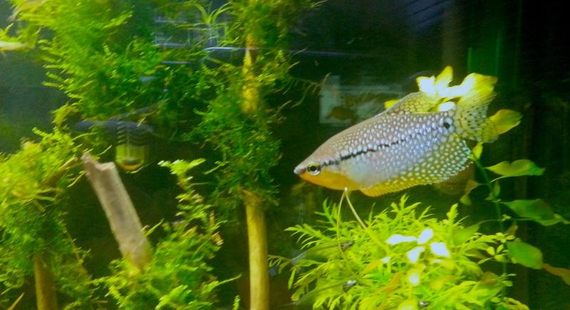 Mon aquarium de 260L Asiatique 20130612