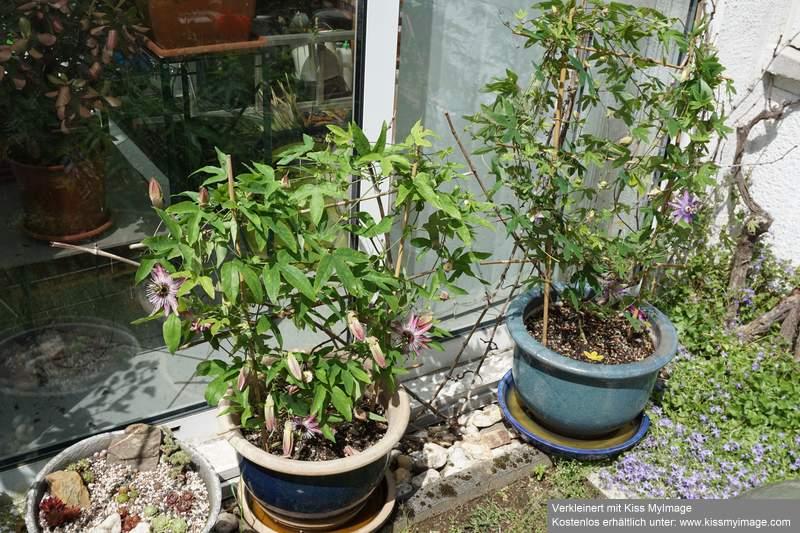 """Passiflora - Passionsblume - kleine """"Juwelen"""" - alles über Aussaat, Pflege, Vermehrung und natürlich Blütenbilder :) - Seite 28 Dsc00210"""