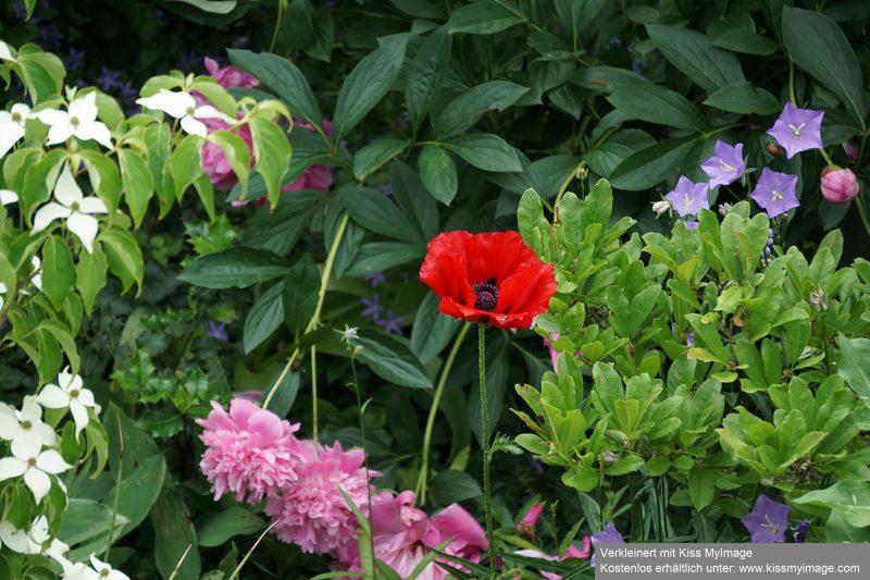 Mohn - Mohngewächse - Papaveraceae - Seite 5 Dsc00212