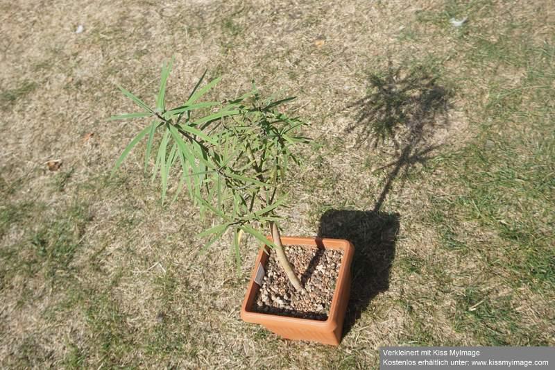 Wolfsmilchgewächse (Euphorbiaceae) - alle Nichtsukkulenten Dsc01954