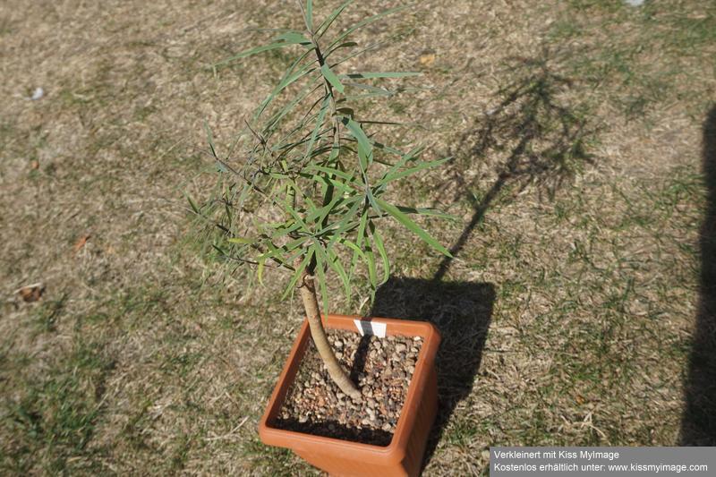 Wolfsmilchgewächse (Euphorbiaceae) - alle Nichtsukkulenten Dsc01955