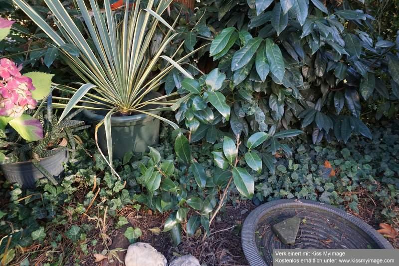 Camellia - Kamelien - Seite 6 Dsc02056