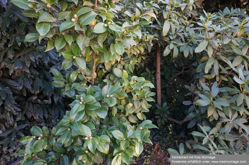 Camellia - Kamelien - Seite 6 Dsc02057