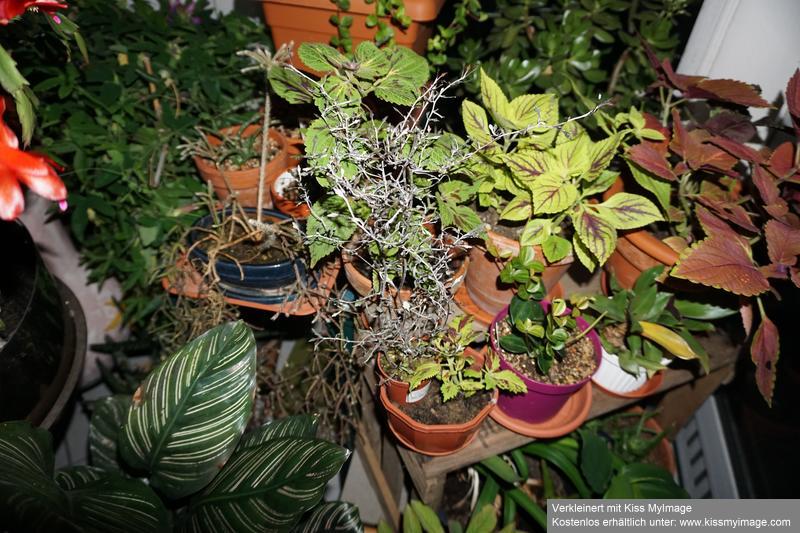 Zickzackstrauch (Corokia cotoneaster) Dsc02217