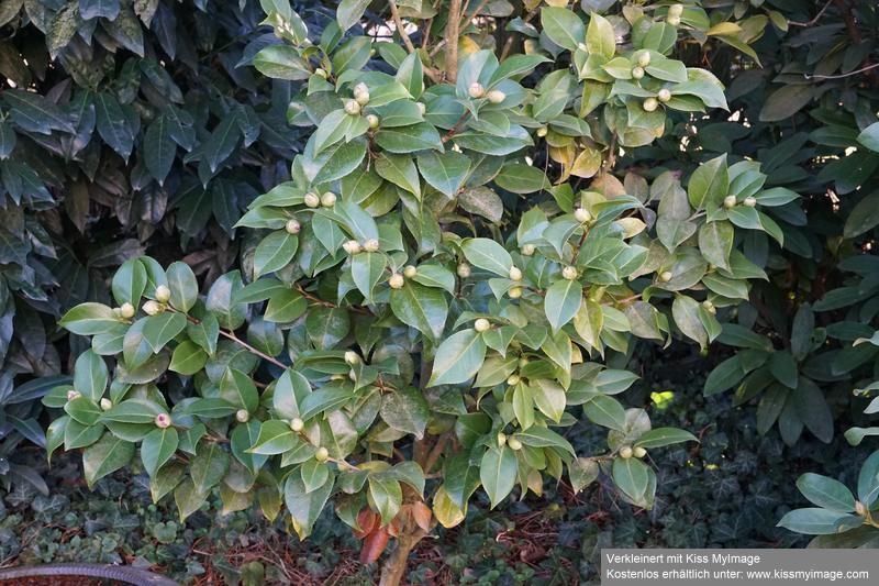 Camellia - Kamelien - Seite 6 Dsc02365