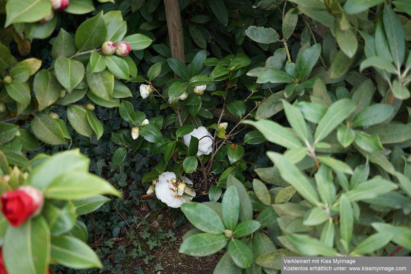 Camellia - Kamelien - Seite 7 Dsc02585