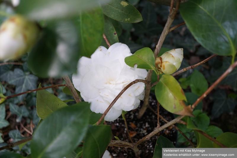 Camellia - Kamelien - Seite 7 Dsc02586