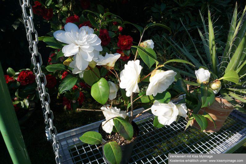 Camellia - Kamelien - Seite 7 Dsc02627